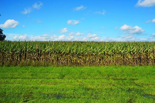 Uprawa kukurydzy na glebach ciężkich i lekkich