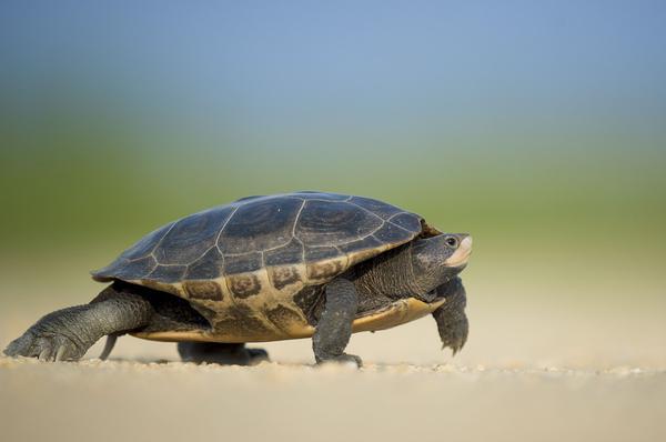 Hodowla żółwia stepowego